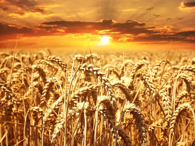 Weizenfeld Glutenunverträglichkeit